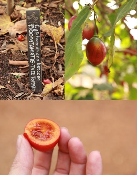 Tasting Tree Tomatoes...